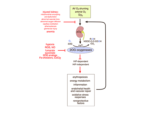 Overwiew of oxygen metabolism in renal tissue