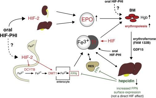 HIF in iron metabolism
