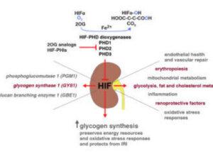 glycogen in renal injury