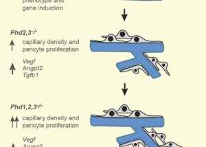 Phd inactivation in brain pericytes