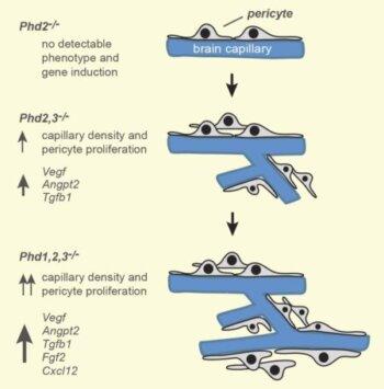 Phd inactivation in brain pericytes